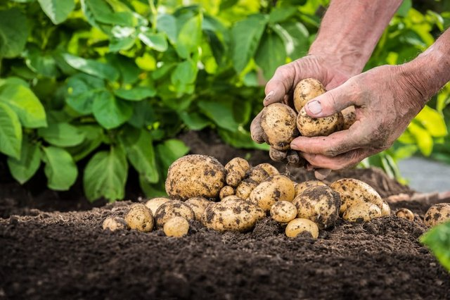 This is what you need to know about growing your own potatoes (Photo: Shutterstock)