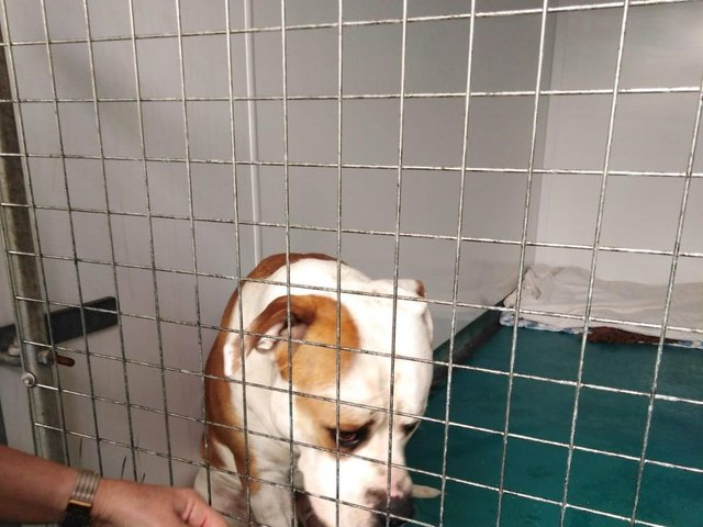 Hector was found tied up with a short, heavy chain outside the RSPCA Leeds, Wakefield & District Branch Animal Centre gates.