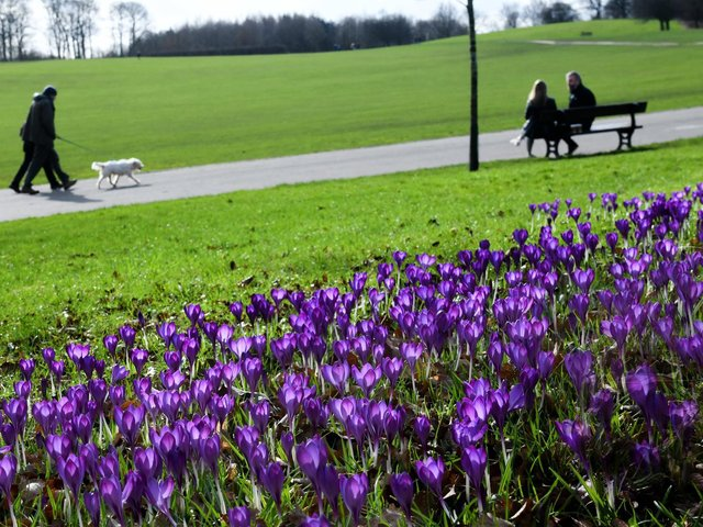 Croci coming into flower, on a mild day at Temple Newsam in Leeds as visitors take some exercise (photo: Gary Longbottom).