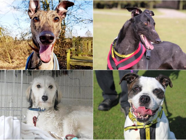 Leeds Dogs Trust Dogs Rumba (top left), Laura (top right), River (bottom left) and Patches (bottom right) are urgently looking for new homes. (photos: Leeds Dogs Trust)