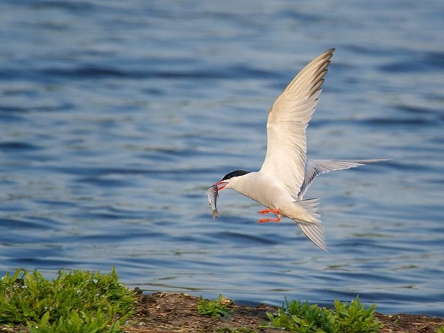 A Common tern bird at Rodley Nature Reserve.