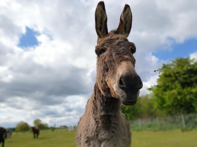 A donkey who is cared for at The Donkey Sanctuary Leeds.