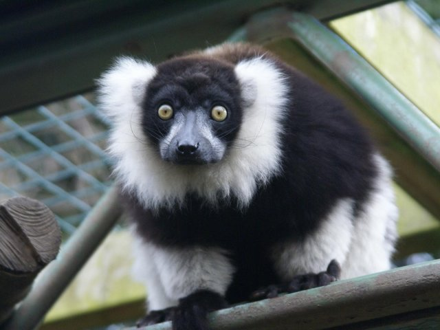 Lemurs have been settling in at Ponderosa Zoo.