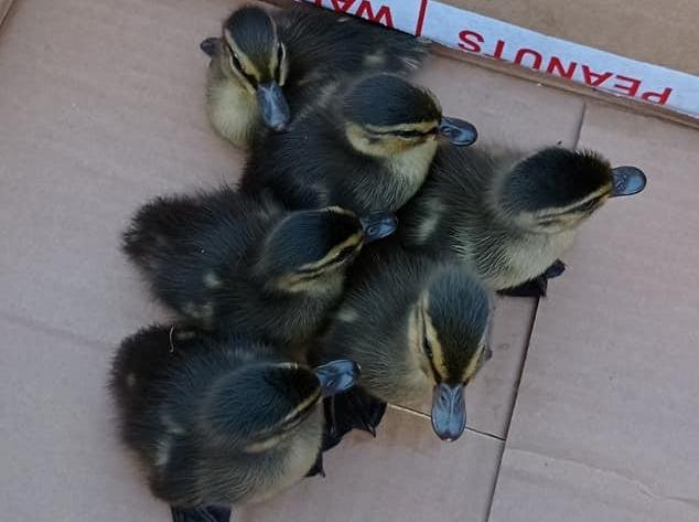 The ducklings were fished to safety (Photo: WYP)