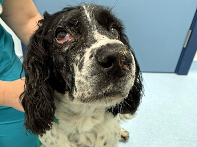 Poor Springer Spaniel Bailey suffered multiple skull fractures, gaping wounds to his face and lost several teeth