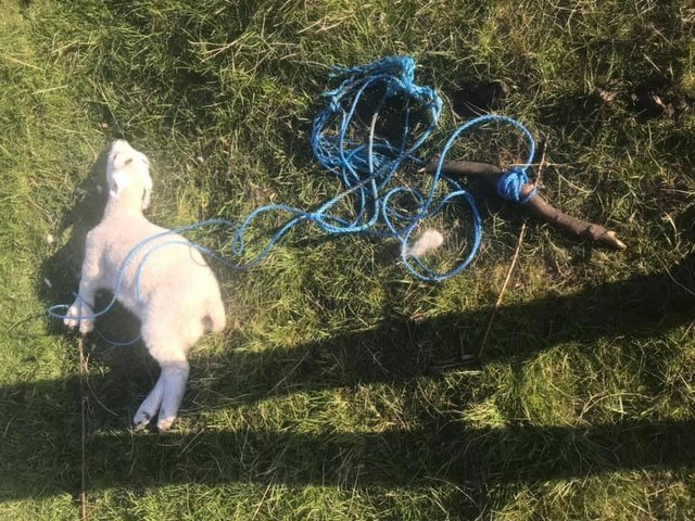A farmer has been left devastated after discovering one of her lambs had died after being tied up in a Leeds field - allegedly by four teenagers.