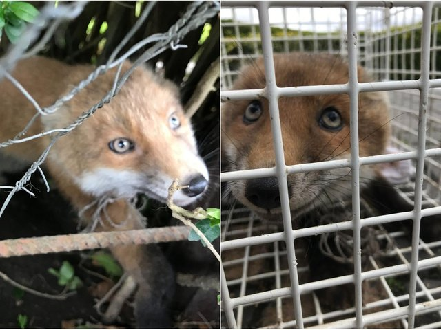 The fox was rescued after getting trapped in some football netting in a back garden in Horsforth.
