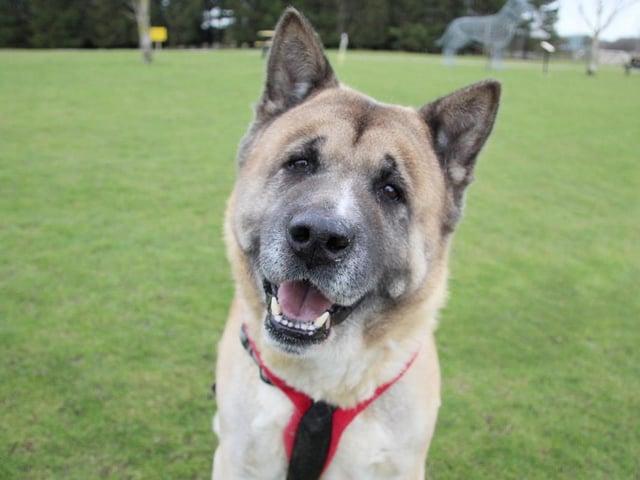 Kumar - a 10-year-old akita (photo: Leeds Dogs Trust)