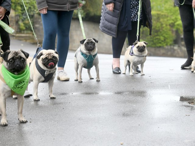 Pugs line-up outside the Bramhope Village Pizza after their doggy takeaway