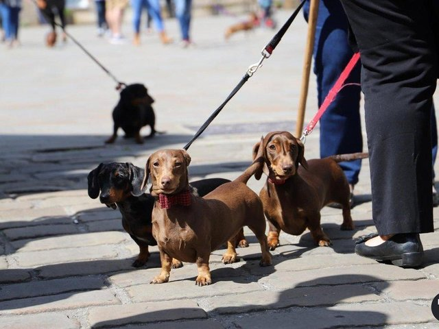 The event is a chance for Dachshunds and their owners to mingle with other furry friends - with free 'Puppuccinos' and dog treats at the door and competitions for the best-dressed pooches.