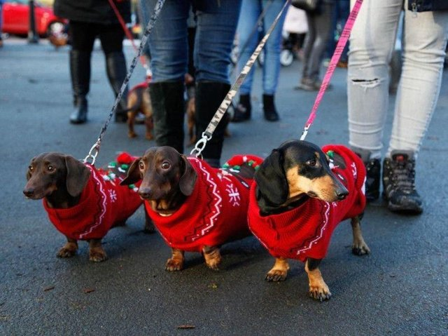 Dachshunds in a Christmas walk in Roundhay Park.