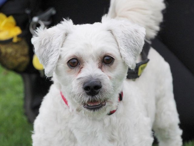 Bails is a sweet little five-year-old Bichon Frise. He is wonderful company, but you must let him get to know you before getting too hands on. He is very shy and can get worried by new people and situations. This means that he needs a very slow settling in period where he will be allowed to come round in his own time. If you take things slowly with him, he will eventually show his true character, which is a very affectionate and playful little dog. He enjoys his training and knows most basic tasks. He is making progress but must be the only pet in his home. Bails needs a very specific home due to his nervousness of unfamiliar people. He is very worried by children and has shown this in his previous home, so he needs an adult only home with no visiting kids. Very few visitors generally and none at all during his settling in period. A busy or noisy location will make him very anxious, so his home needs to be in a peaceful area with immediate access to quiet walking areas.