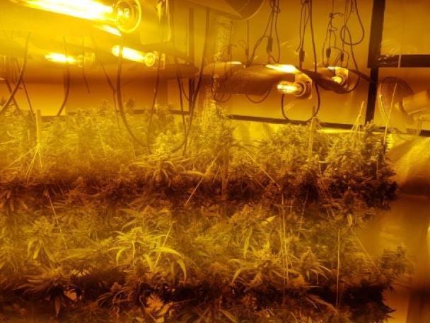 More than 100 plants were seized (Photo: WYP)