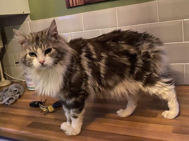 Muffin the cat who has been missing for nearly a year but has been reunited with his owners.