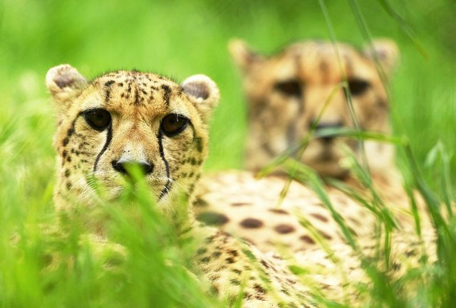 A pair of Cheetahs look on from their enclosure as preparations are made at Exmoor Zoo ahead of the relaxing of Covid-19 restrictions in June 2020 (Photo: Harry Trump/Getty Images)